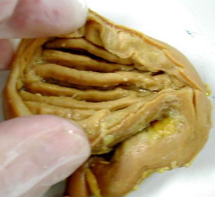 Biology 453 Mammalian Digestive Sys Photos