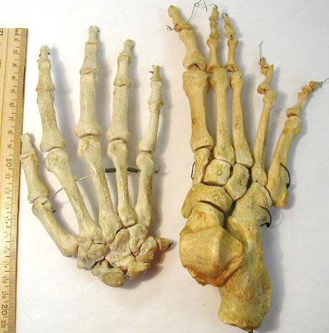 biology 453 - amniote skeleton photos, part 2, Skeleton