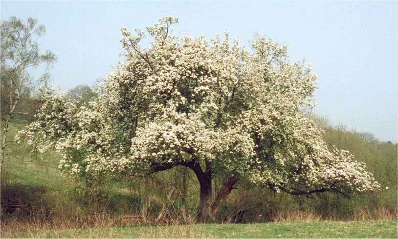 Aboutsite Photograph Of A Blooming Pear Tree The Symbol Of Janie In Her Full Bloom Business Plan Writers Cost also Business Plan Writer Seattle  Argumentative Essay Examples For High School