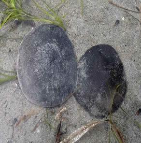 sea urchins biology and ecology pdf